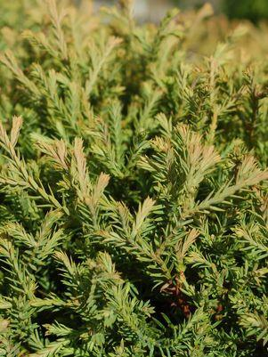 Thuja occidentalis 'Mr. Bowling Ball'-#2 Container<br/>Mr. Bowling Ball Arborvitae