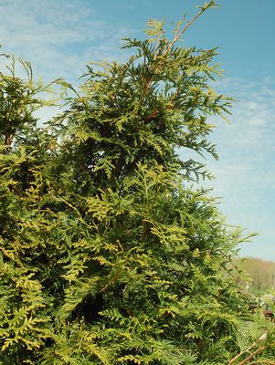 Thuja X 'Green Giant'-#10 Container<br/>Green Giant Western Arborvitae