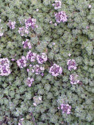 Thymus pseudolanguinosus-#1 Container<br/>Wooly Thyme