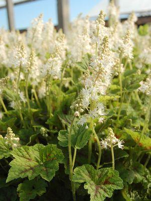 Tiarella cordifolia 'Running Tapestry'-#1 Container<br/>Running Tapestry Foamflower