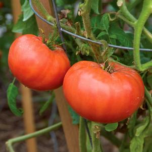 Tomato 'Mortgage Lifter'-#1 Container<br/>Radiator Charlies Mortgage Lifter Tomato