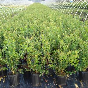 Vaccinium corymbosum 'Blue Ray'-#3 Container<br/>Blueray Blueberry