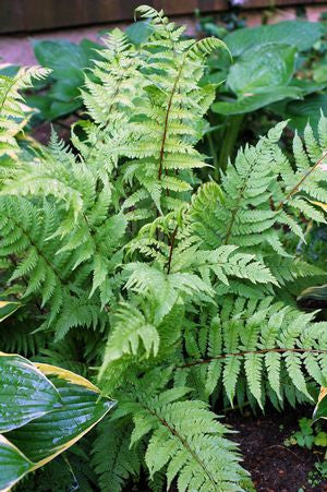 Athyrium filix Femina 'Lady In Red'-#1 Container<br/>Lady in Red Lady Fern
