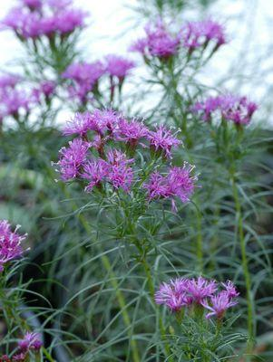 Vernonia lettermanii 'Iron Butterfly'-#1 Container<br/>Iron Butterfly Narrow-leaf Ironweed