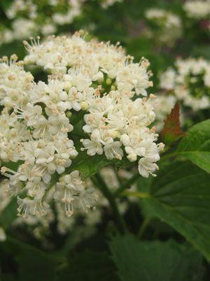 Viburnum dentatum 'Blue Muffin'-#10 Container<br/>Blue Muffin™ Arrowwood Viburnum