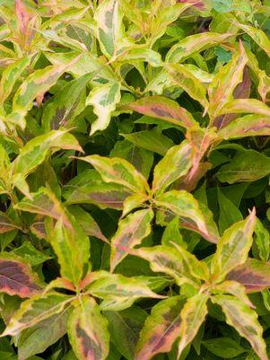Weigela Florida 'My Monet Sunset'-#2 Container<br/>My Monet? Sunset Weigela