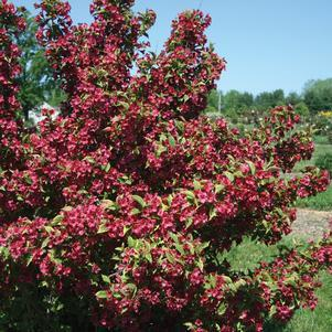 Weigela 'French Lace' - #3