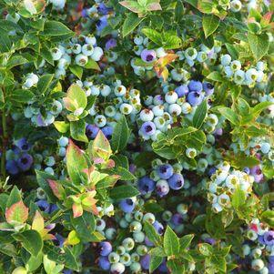 Vaccinium X 'Jelly Bean' -#2 Container<br/>Jelly Bean™ Blueberry