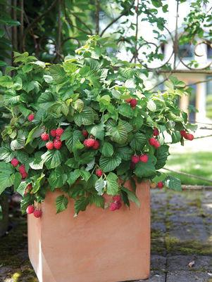 Rubus 'Raspberry Shortcake' -#2 Container<br/>Raspberry Shortcake™ Thornless Raspberry
