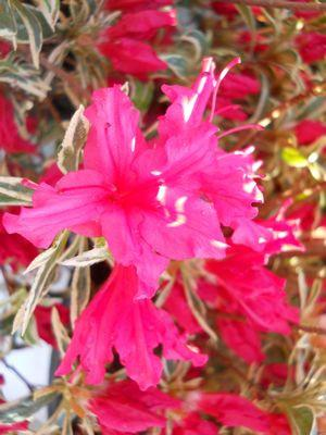 Rhododendron (Azalea) 'Bollywood Star™'-#2 Container<br/>Bollywood Star™ Azalea