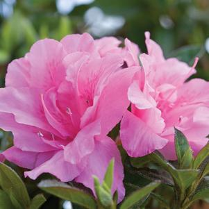 Rhododendron (Azalea) Encore&#174; 'Autumn Carnation&#8482;'-#3 Container<br/>Autumn Carnation&#8482; Reblooming Azalea