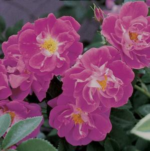 Rosa 'William Baffin'-#3 Container<br/>William Baffin Climbing Rose