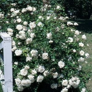 Rosa 'White Dawn'-#3 Container<br/>White Dawn Climbing Rose