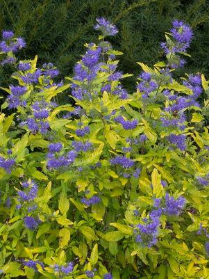 Caryopteris 'Lil Miss Sunshine'-#2 Container<br/>Lil Miss Sunshine™ Bluebeard