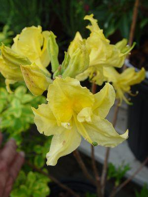 Rhododendron (Azalea) 'Lemon Lights'-#3 Container<br/>Lemon Lights Azalea