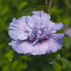 Hibiscus syriacus 'Blue Chiffon' -#3 Container<br/>Blue Chiffon™ Rose of Sharon