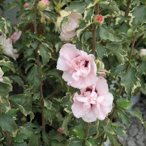 Hibiscus syriacus 'Sugar Tip'-#3 Container<br/>Sugar Tip™  Rose of Sharon