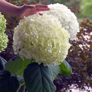 Hydrangea arborescens 'Incrediball'-#3 Container<br/>Incrediball Hydrangea