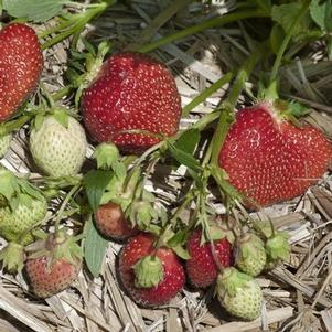 Strawberry 'Allstar'-#1 Container<br/>All Star Strawberry