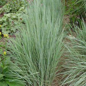 Schizachyrium scoparium 'The Blues'-#1 Container<br/>Little Bluestem
