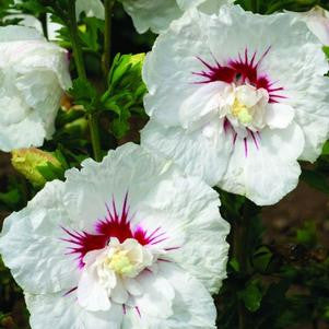 Hibiscus syriacus 'Bali'-#3 Container<br/>Bali™ Rose of Sharon