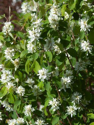 Amelanchier alnifolia 'Standing Ovation&#8482;' -#3 Container<br/>Standing Ovation&#8482; Serviceberry