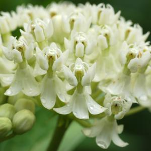 Asclepias incarnata 'Ice Ballet'-#2 Container<br/>Ice Ballet Swamp Milkweed