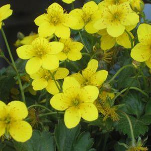 Geum fragarioides-#1 Container<br/>Barren Strawberry