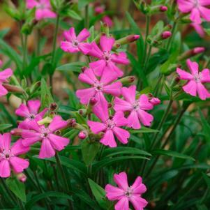 Silene caroliniana 'Short And Sweet'-#1 Container<br/>Short and Sweet Catchfly