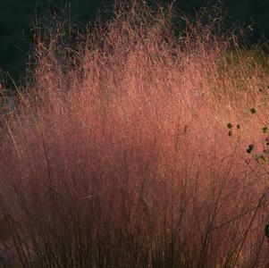 Muhlenbergia capillaris-#1 Container<br/>Hairawn Muhly, Longawn hair grass