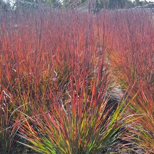 Schizachyrium scoparium 'Standing Ovation'-#2 Container<br/>Standing Ovation Little Bluestem