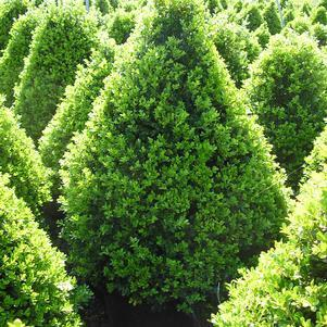 Buxus X 'Cranberry Creek'-#2 Container<br/>Cranberry Creek Boxwood