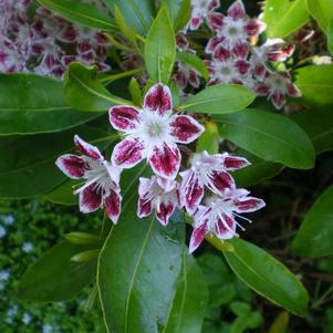 Kalmia latifolia 'Galaxy'-#3 Container<br/>Galaxy Mountain Laurel