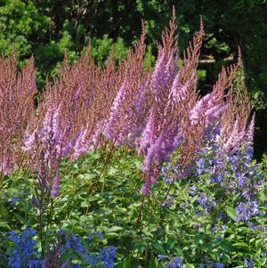 Astilbe chinensis Purple Candles-#2 Container<br/>Purple Candles Astilbe