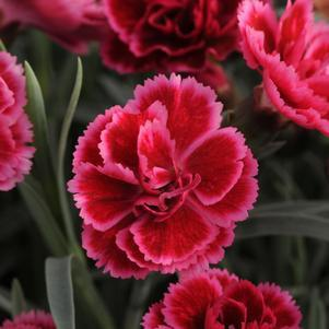 Dianthus Everlast&#8482; 'Burgundy Blush'-#1 Container<br/>Everlast&#8482; Burgundy Blush Pinks