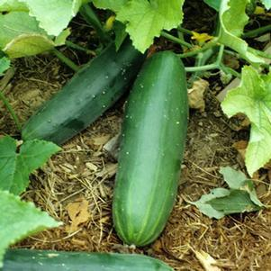 Cucumber 'Sweet Burpless'-#1 Container<br/>Sweet Bush Cucumber