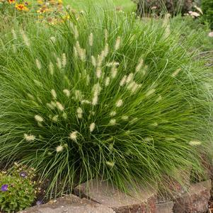 Pennisetum alopecuroides Little Bunny-#1 Container<br/>Little Bunny Dwarf Fountain Grass