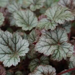 Coral Bells 'Rave On' - 8 In.
