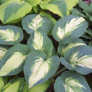 Hosta Shadowland&#8482;  'Hudson Bay'-#1 Container<br/>Shadowland&#8482; Hudson Bay Hosta