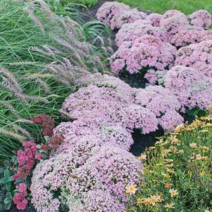Sedum 'Pure Joy'-#1 Container<br/>Pure Joy Stonecrop