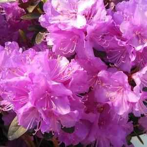Rhododendron X 'Amy Cotta'-#5 Container<br/>Amy Cotta Rhododendron