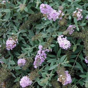 Buddleia Lo & Behold&#174;'Lilac Chip'-#2 Container<br/>Lo & Behold&#174; Lilac Chip Butterfly Bush