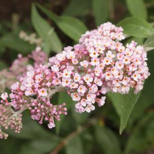 Buddleia Inspired™ 'Pink'-#3 Container<br/>Inspired™ Pink Butterfly Bush