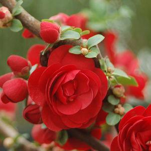Chaenomeles Double Take&#8482;  'Scarlet Storm'-#2 Container<br/>Double Take&#8482;Scarlet Storm Quince