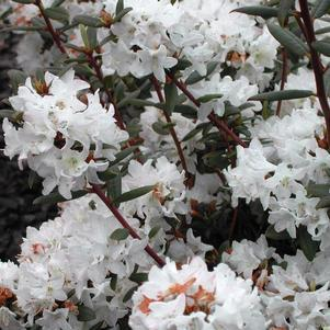 Rhododendron X 'Sugar Puff'-#3 Container<br/>Sugar Puff Rhododendron