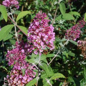 Buddleia davidii 'Pink Delight'-#3 Container<br/>Pink Delight Butterfly Bush