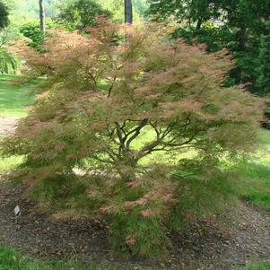 Acer palmatum 'Baldsmith'-#3 Container<br/>Baldsmith Japanese Maple