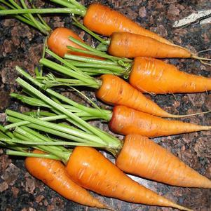 Carrot 'Sweet Treat'-#1 Container<br/>Sweet Treat Carrot