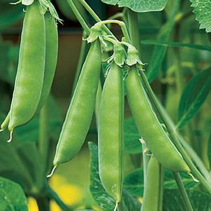 Pea 'Sugar Snap'-#1 Container<br/>Sugar Snap Pea