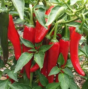 Pepper 'Cayennetta'-#1 Container<br/>Cayennetta Hot Pepper